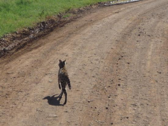 Ngorongoro Conservation Area, Tanzania: civil cat