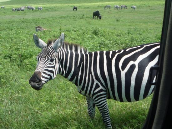 Ngorongoro Conservation Area, Tanzania: you lookin' at me?