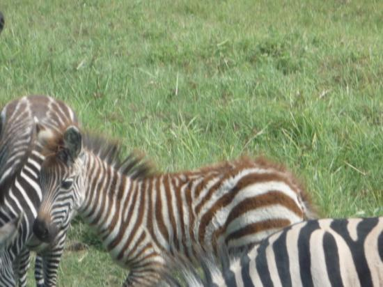 Ngorongoro Conservation Area, Tanzania: Zebra foal, brown and fluffy