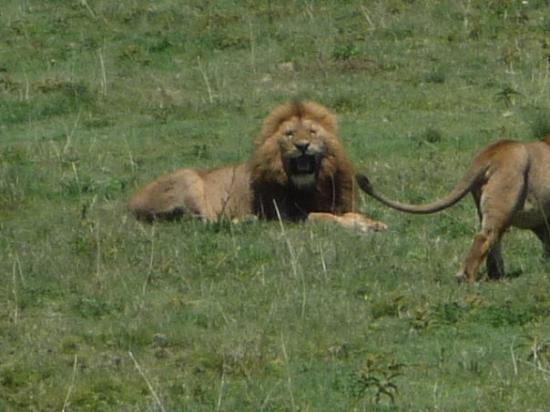 Ngorongoro Conservation Area, Tanzania: check out his mane! whao!!