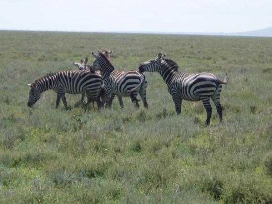 Ngorongoro Conservation Area, Tanzania: Soooooo many Zebras.