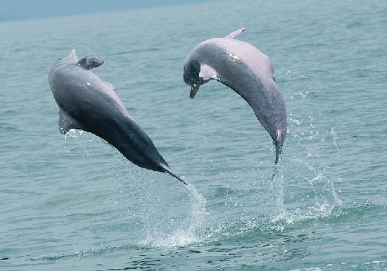 Berjaya Langkawi Resort - Malaysia: Dolphins on Mangrove tour
