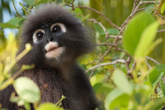 Berjaya Langkawi Resort - Malaysia: Dusky Leak Monkey