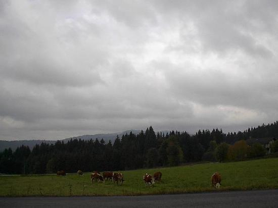 Mauth, Deutschland: grazing cows