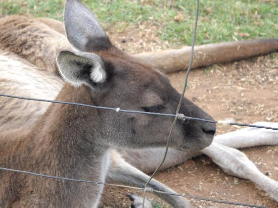 Pemberton Farm Chalets : Resident friendly kangaroo