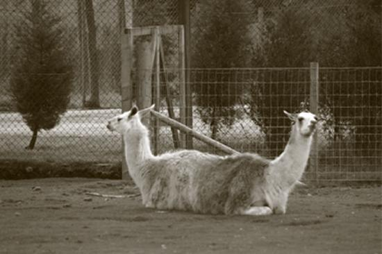 "Blair Drummond Safari and Adventure Park: Rare ""PushPull"" Llama"