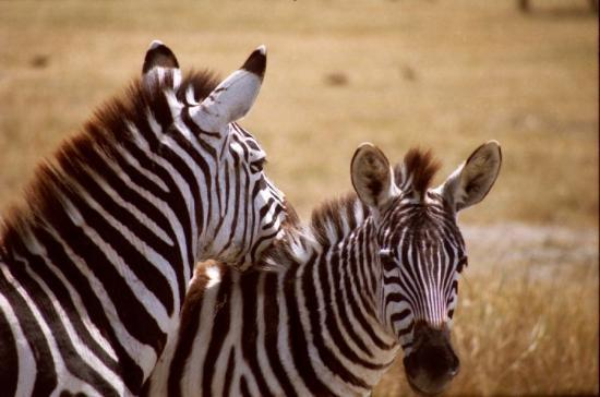 Serengeti National Park, Tanzania: TANZANIA - NGORONGORO