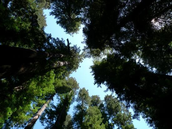 Fortuna, Kalifornia: Redwoods, CA (2009)