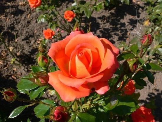 Bamberg, Tyskland: In the rose garden