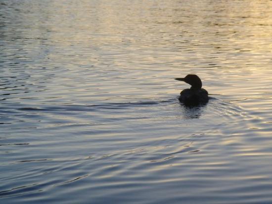 Algonquin Provincial Park, Canada: Sunset Loon