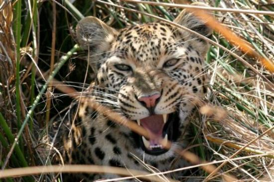 Maun, Botswana: Leopard hiding in tall grass, Botswana