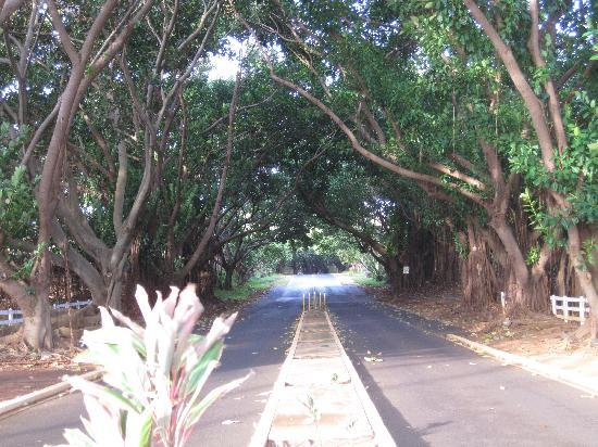 "Kauai Beach Resort: ""Tunnel of Trees"" at the entrance drive"