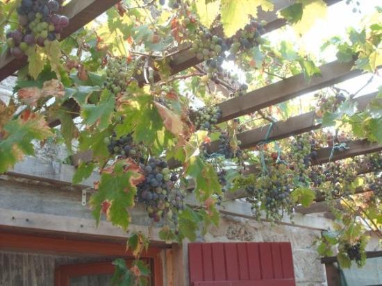 Castelnau-de-Montmiral, Frankrike: The vine of said grapes.