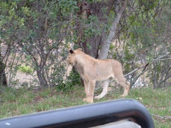Thornybush Private Game Reserve, Sør-Afrika: Yes, we are in an open vehicle; yes those are real wild lions and they are really that close !!