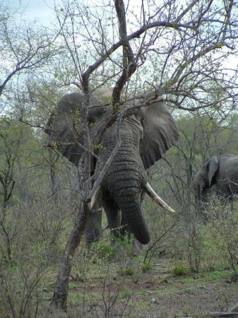 Thornybush Private Game Reserve, Sør-Afrika: Holy crap they are HUGEMONGOUS!!