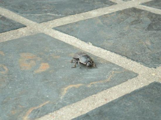 Thornybush Private Game Reserve, Sør-Afrika: Yeah, that's one of those beetles that rolls poop into balls!