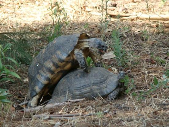 Oia, Hellas: Two turtles enjoying a sunny afternoon in Athens!!  Go for it!