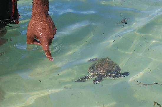 Mana Island Resort: Tiny the Turtle