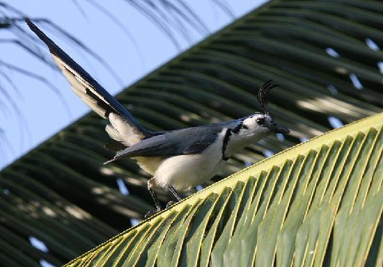 Rancho Armadillo Estate: White-fronted Magpie-Jay