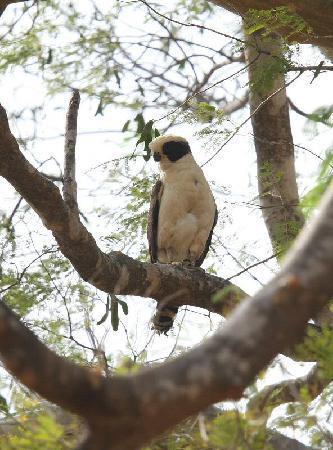Rancho Armadillo Estate: Laughing Falcon