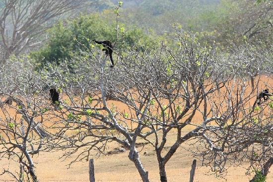 Rancho Armadillo Estate: Mantled Howler Monkeys