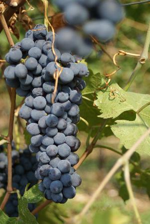 Agriturismo Delo Relais: Vineyards of Delo