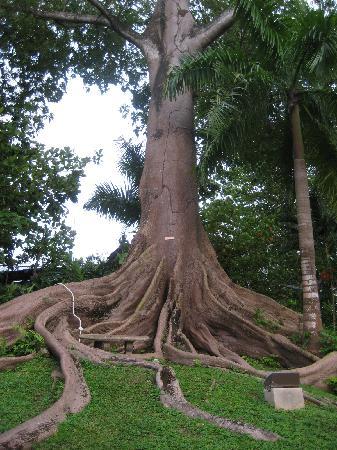 Couples Sans Souci: cotton tree