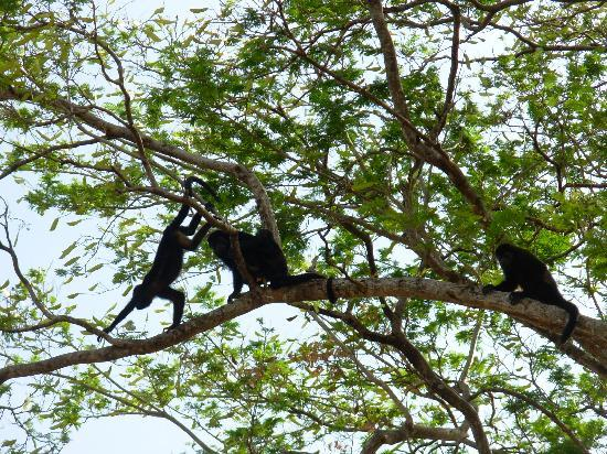 Papagayo Vargas Tours: More monkeys!