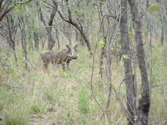 Thornybush Private Game Reserve, Sør-Afrika: Wild boar anyone?