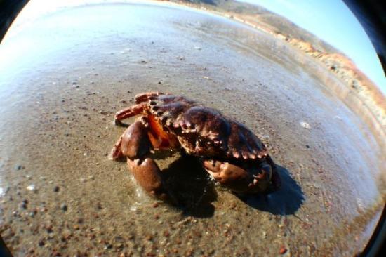 Sausalito, CA: some crab at rodeo beach north of san fransisco