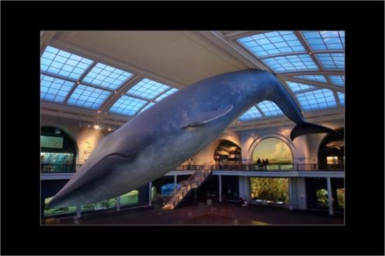 Blauwal im American Museum of Natural History