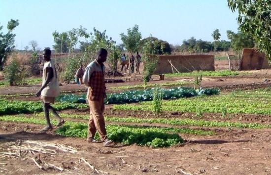 Ouahigouya, Burkina Faso: Les grandes plantation au village