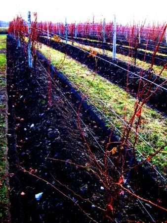 Watkins Glen, NY: wagner vineyard