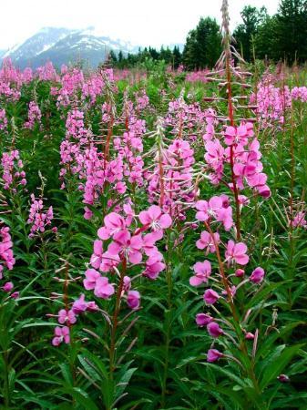 Seward, AK: Alaska Fireweed