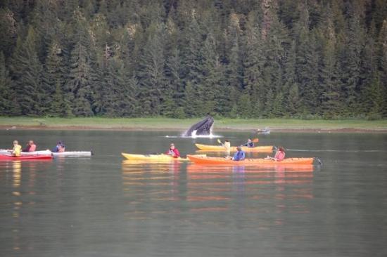 Whale breach feeding. We were on an excursion in Juneau, Alaska
