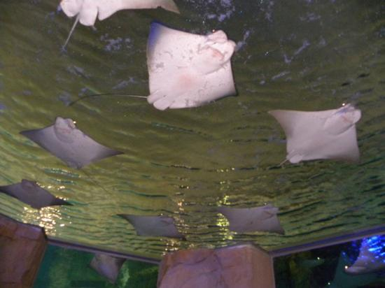 SeaWorld Orlando: I LOVE the stingrays <3 <3 <3 <3