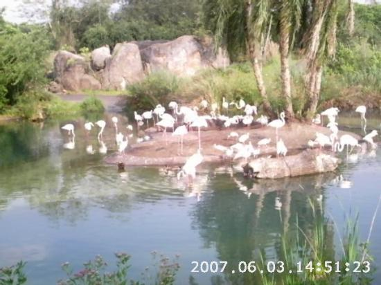 Disney's Animal Kingdom: Flamingos