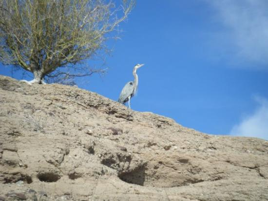 Lake Havasu City, AZ: Egret on top of a cliff