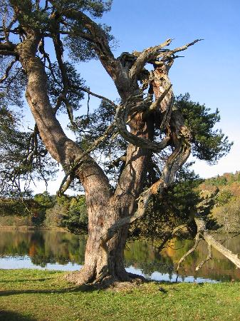 Loch Monzievaird Self Catering Lodges: Ye Olde Tree