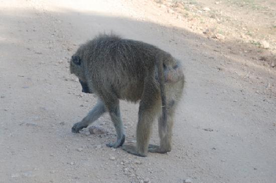 Tsavo East: baboon strails