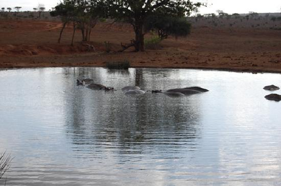 Tsavo East: hippos of tsavo