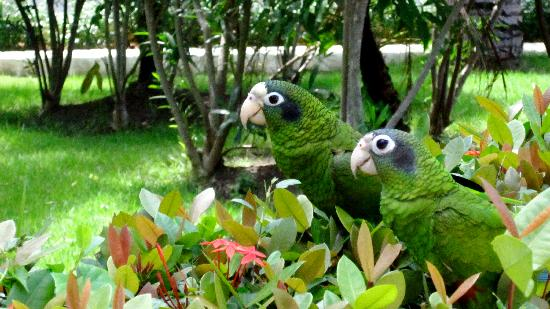 IFA Villas Bavaro Resort & Spa: love birds on a hedge by the walkway