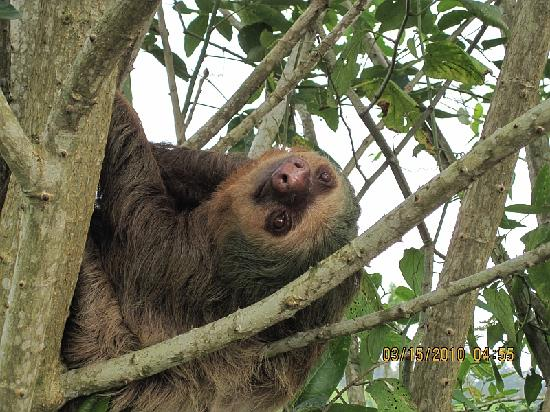 Adventure Inn: A three toed sloth up close