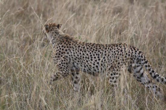 Masai Mara naturreservat, Kenya: Cheetah