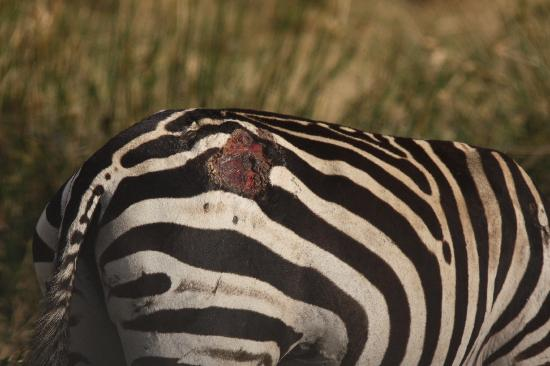 Masai Mara naturreservat, Kenya: Lucky Escape