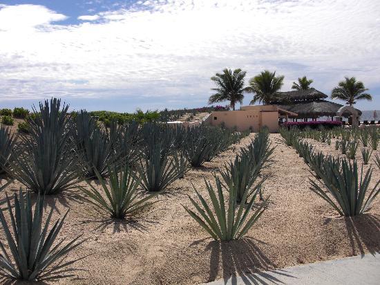 Casa del Mar Golf Resort & Spa: Agave plants along walkway to beach