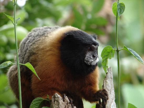 Manatee Amazon Explorer: Monkey