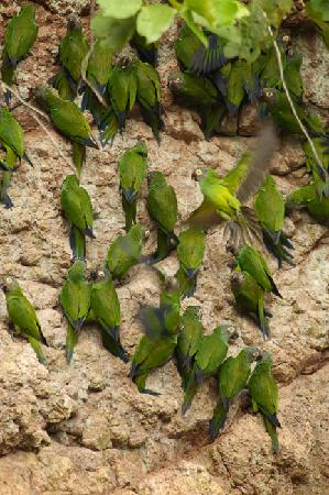 Manatee Amazon Explorer: Parrot's lick