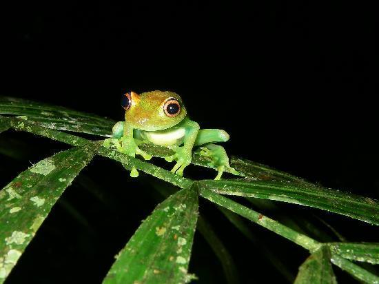 Manatee Amazon Explorer: little frog