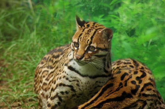 Manatee Amazon Explorer: Tigrillos